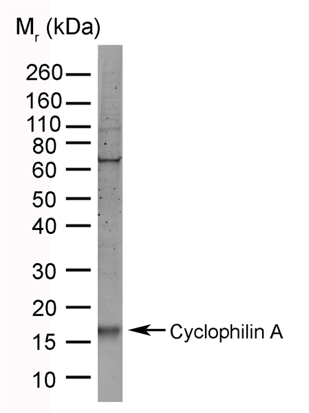 Cyclophilin A Antibody | 794 gallery image 2