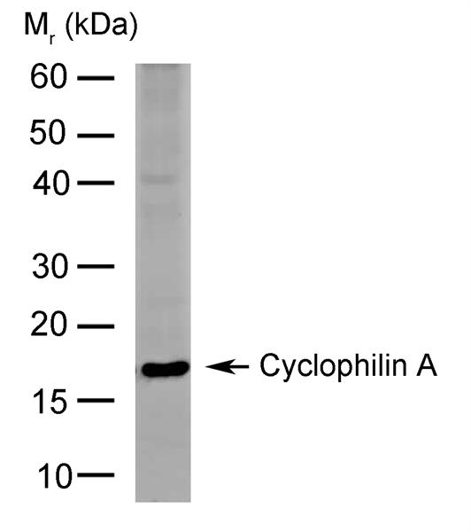 Cyclophilin A Antibody | 794 gallery image 1