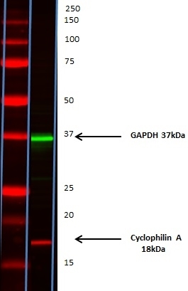 Cyclophilin A Antibody   794 gallery image 5