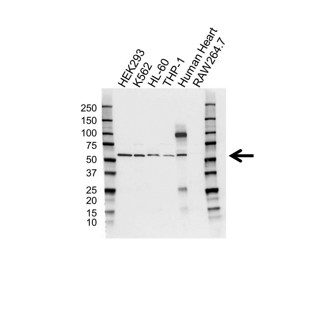Cytochrome P450 1A1 Antibody (PrecisionAb<sup>TM</sup> Antibody) gallery image 1