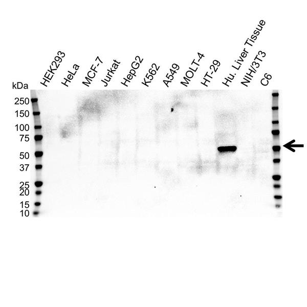 Cytochrome P450 2E1 Antibody (PrecisionAb<sup>TM</sup> Antibody) | OTI5F11 gallery image 1