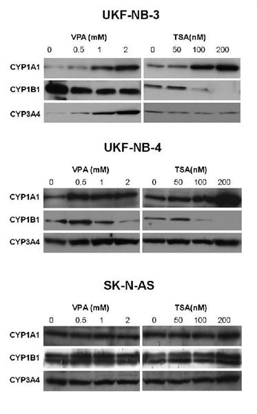 Cytochrome P450 3A4 Antibody gallery image 2