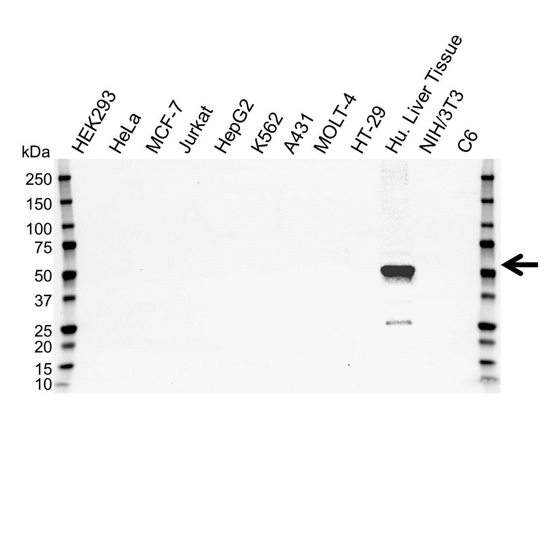 Cytochrome P450 3A4 Antibody (PrecisionAb<sup>TM</sup> Antibody) gallery image 1