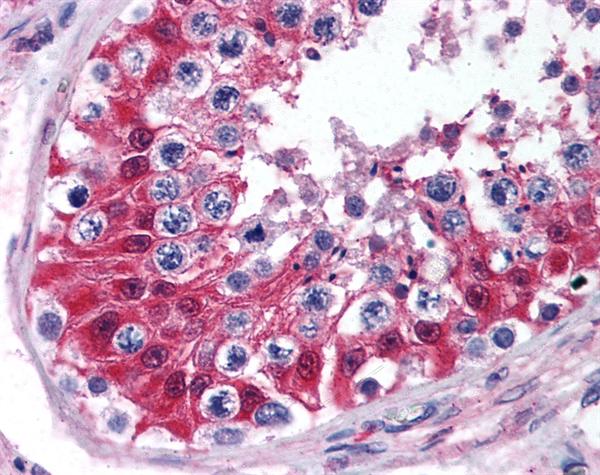 Cytochrome P450 Antibody gallery image 1