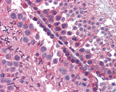 Cytochrome P450 Antibody gallery image 3
