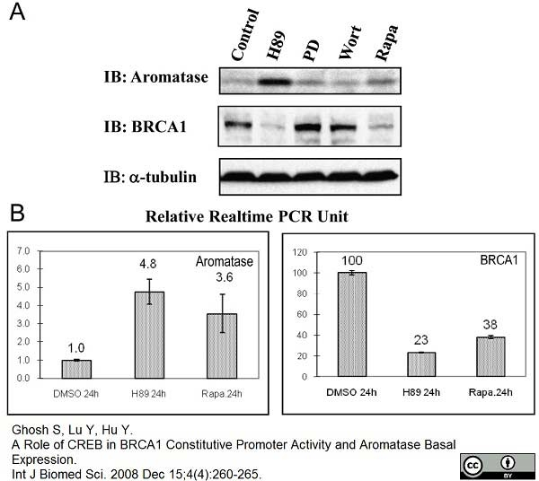 Cytochrome P450 Aromatase Antibody | H4 thumbnail image 2