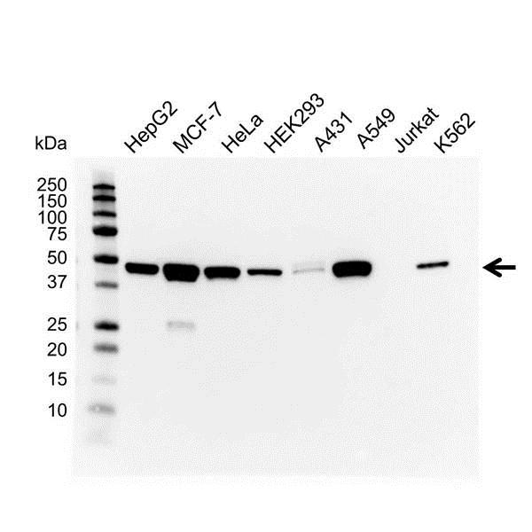 Cytokeratin 18/19 Antibody (PrecisionAb<sup>TM</sup> Antibody) gallery image 1