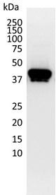 Cytokeratin 19/20 Antibody | 3768 gallery image 2