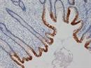 Cytokeratin 19 Antibody | A53-B/A2 thumbnail image 1