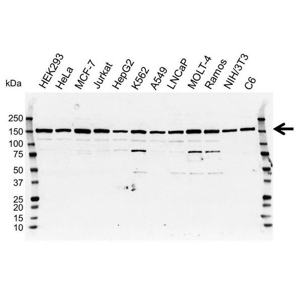 DCTN1 Antibody (PrecisionAb<sup>TM</sup> Antibody) gallery image 1