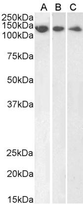 DDB1 Antibody gallery image 2