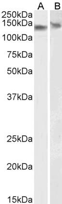 DDB1 Antibody gallery image 3
