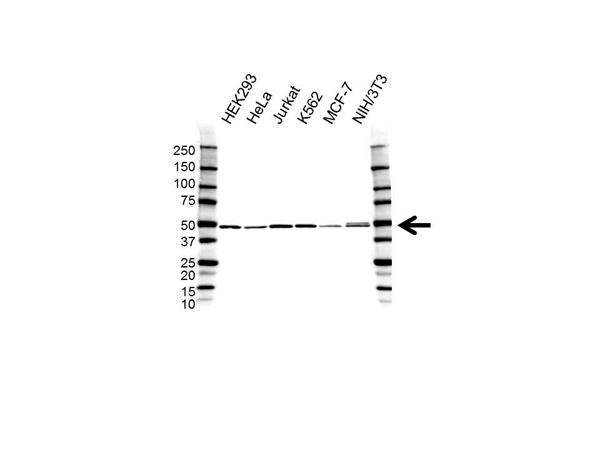 DDX39B Antibody (PrecisionAb<sup>TM</sup> Antibody) gallery image 1