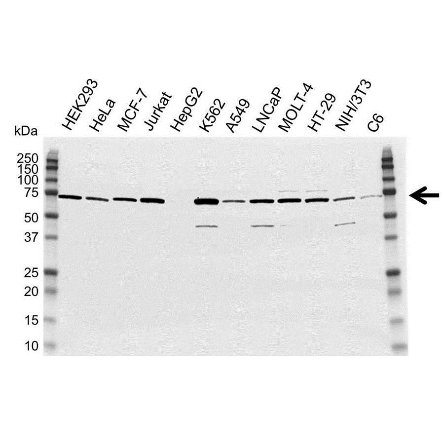 DDX5 Antibody (PrecisionAb<sup>TM</sup> Antibody) gallery image 1