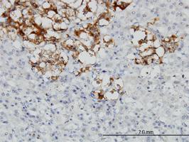 Decorin Antibody | 3H4-1F4 gallery image 1