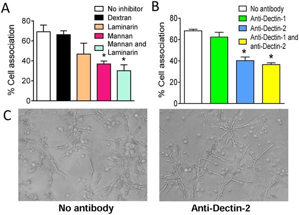 Dectin-1 Antibody | GE2 gallery image 5