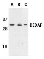 DEDAF Antibody gallery image 1