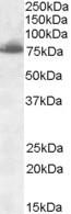 Delta-Like Protein 1 Antibody gallery image 1