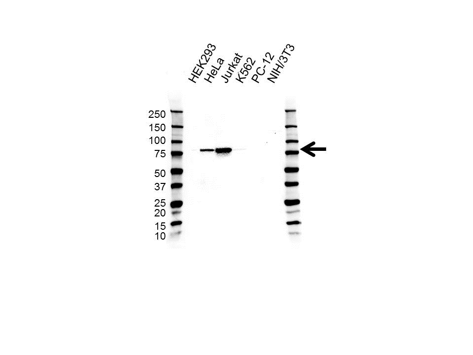 Diacylglycerol Kinase Alpha Antibody (PrecisionAb<sup>TM</sup> Antibody) gallery image 1