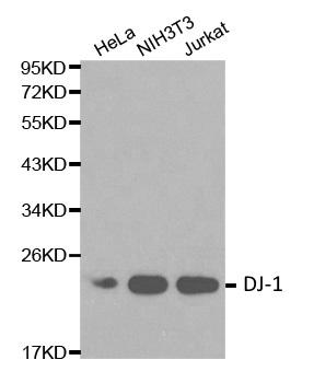 DJ-1 Antibody gallery image 1