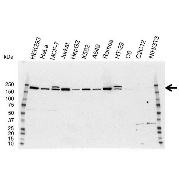 DNA Methyltransferase 1 Antibody (PrecisionAb<sup>TM</sup> Antibody) gallery image 1