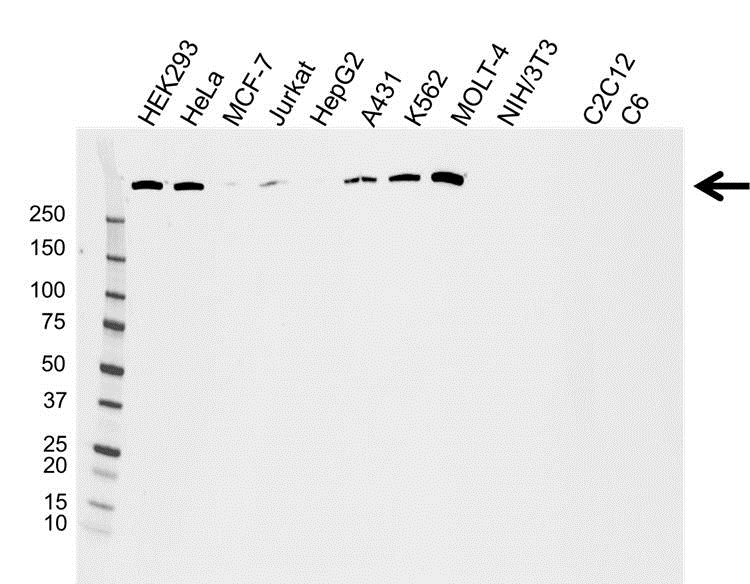 DNA PKcs Antibody (PrecisionAb<sup>TM</sup> Antibody) gallery image 1