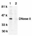 DNase II Antibody gallery image 1