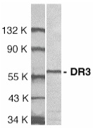 DR3 Antibody gallery image 1