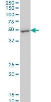 DUSP5 Antibody | 4C8 gallery image 1