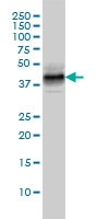 DUSP6 Antibody | 3G2 gallery image 2
