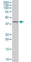 DUSP6 Antibody | 3G2 gallery image 1