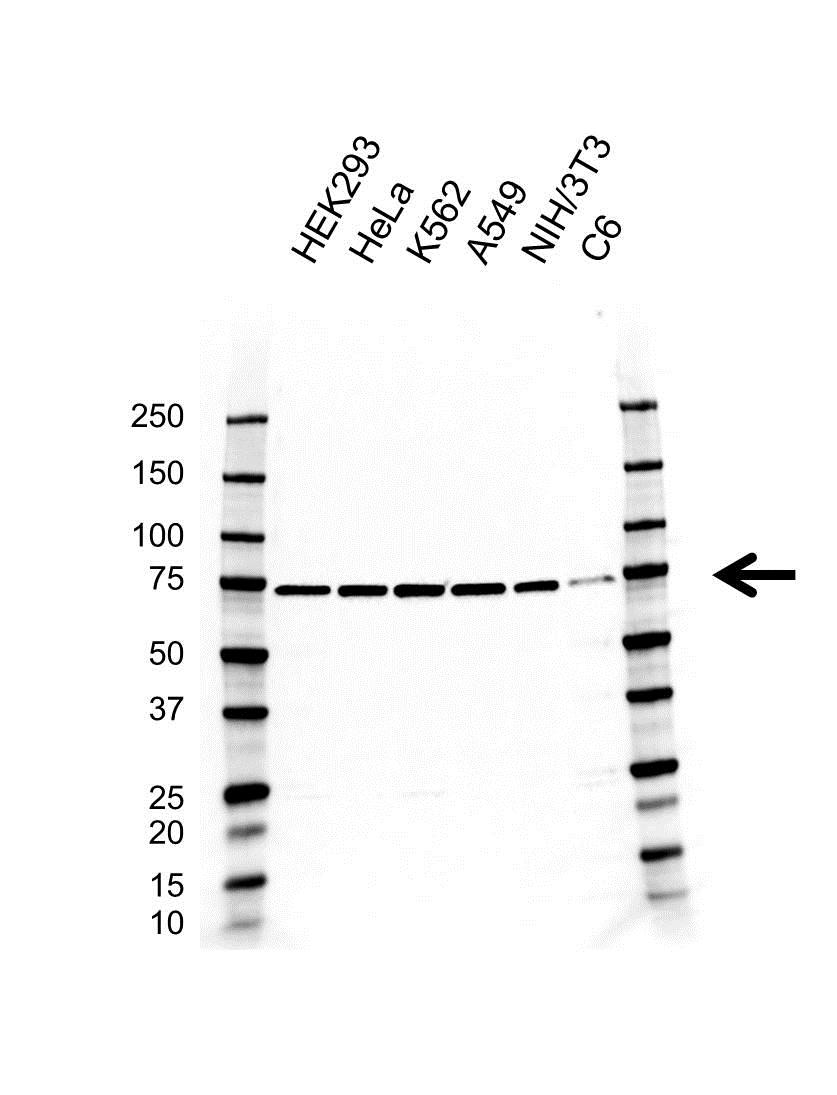 Dynamin 1 Like Antibody (PrecisionAb<sup>TM</sup> Antibody) | AB01/3A6 gallery image 1