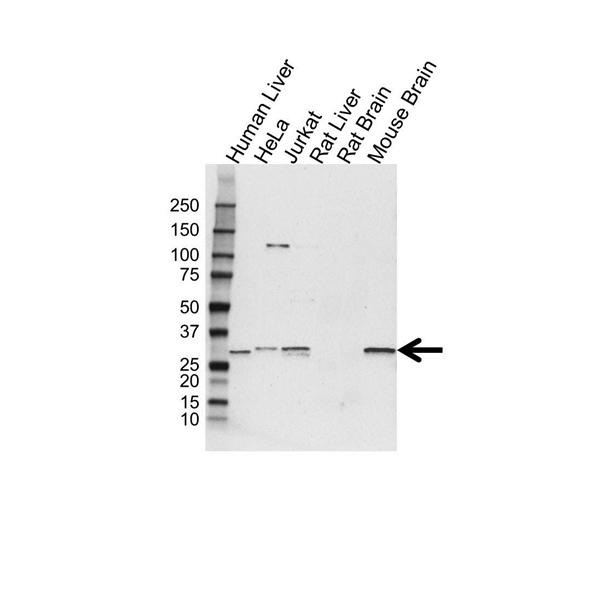E3 Ubiquitin Ligase SIAH1 Antibody (PrecisionAb<sup>TM</sup> Antibody) gallery image 1