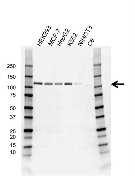 E3 UBIQUITIN-PROTEIN Ligase CBL Antibody (PrecisionAb<sup>TM</sup> Antibody) gallery image 1
