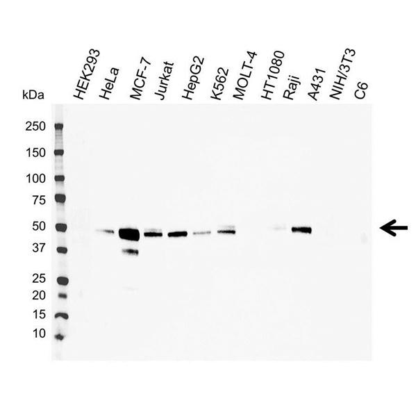 EBP50 Antibody (PrecisionAb<sup>TM</sup> Antibody) gallery image 1