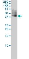 EDG1 Antibody | 2E12 gallery image 1