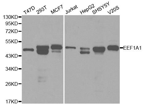eEF1A1 Antibody gallery image 1