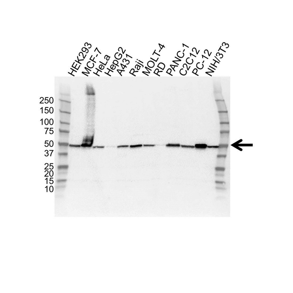 EEF1A2 Antibody (PrecisionAb<sup>TM</sup> Antibody) gallery image 1