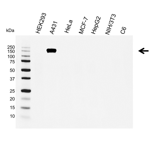 EGF R Antibody (PrecisionAb<sup>TM</sup> Antibody) gallery image 1