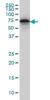 EHD2 Antibody | 2D8 gallery image 1