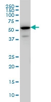 EHD3 Antibody | 4B7 gallery image 3