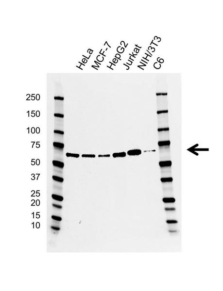 EIF2A Antibody (PrecisionAb<sup>TM</sup> Antibody) | CD02/2H5 gallery image 1