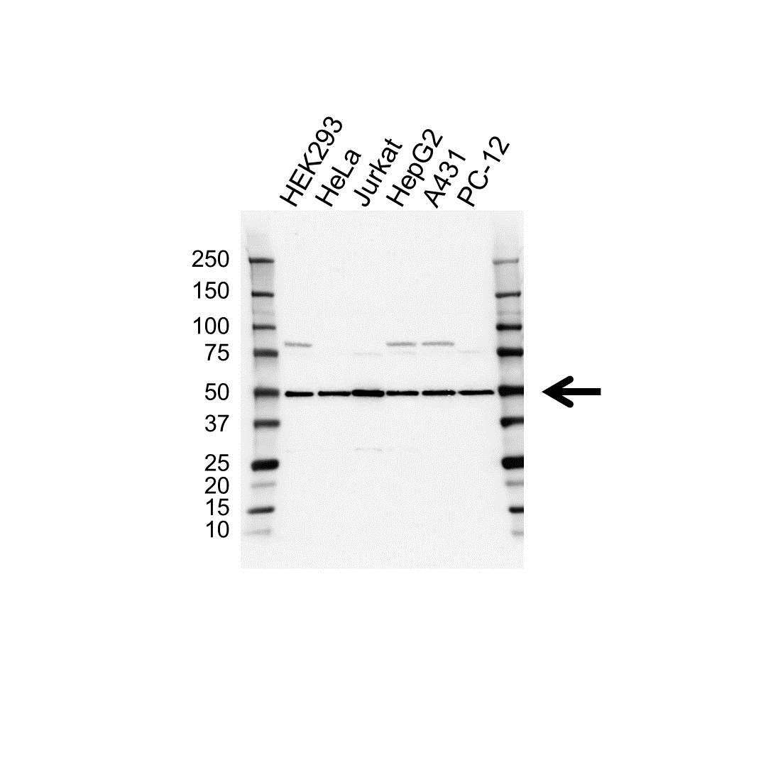 EIF2S2 Antibody (PrecisionAb<sup>TM</sup> Antibody) gallery image 1