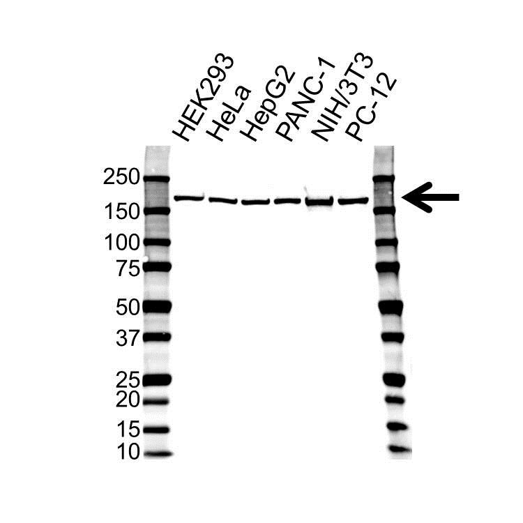 EIF3A Antibody (PrecisionAb<sup>TM</sup> Antibody) gallery image 1