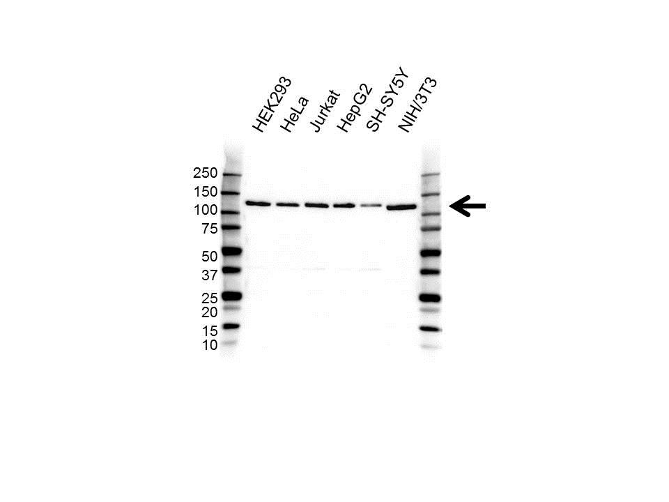 EIF3B Antibody (PrecisionAb<sup>TM</sup> Antibody) gallery image 1