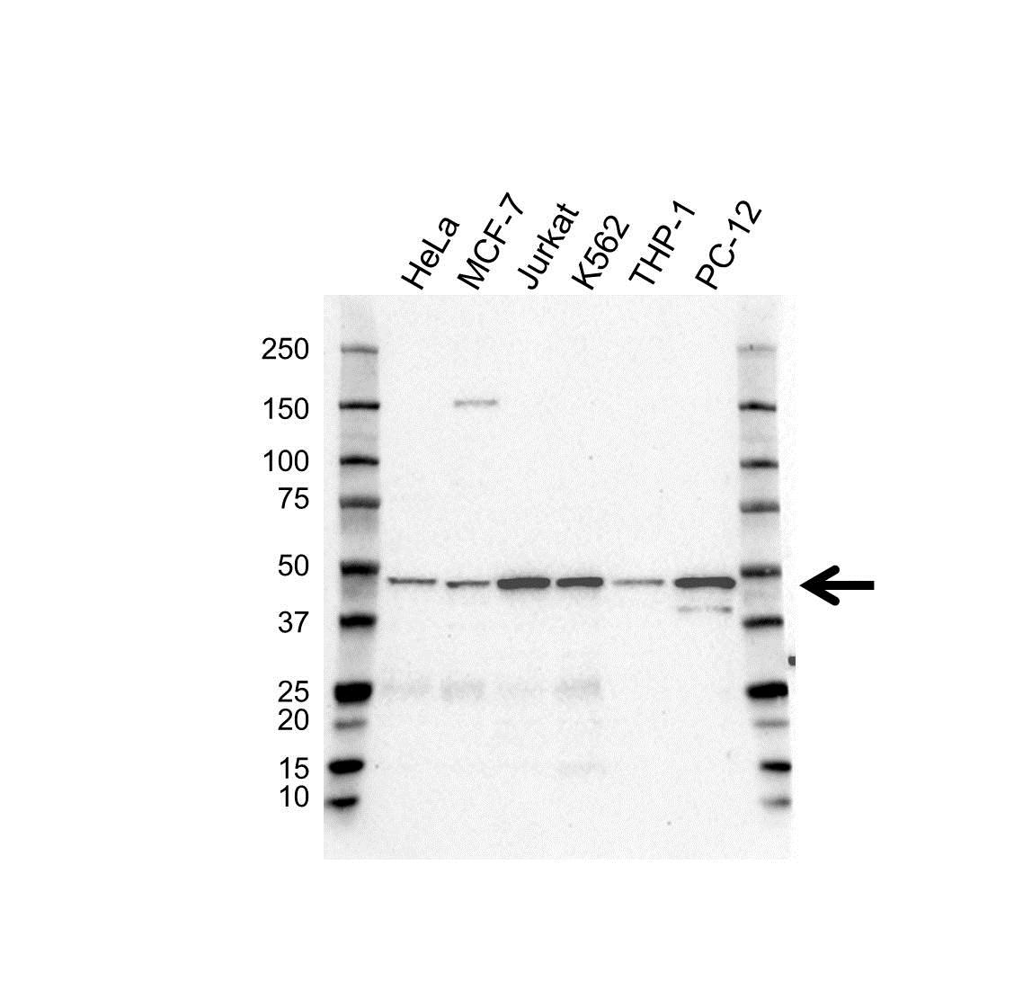 EIF3E Antibody (PrecisionAb<sup>TM</sup> Antibody) gallery image 1