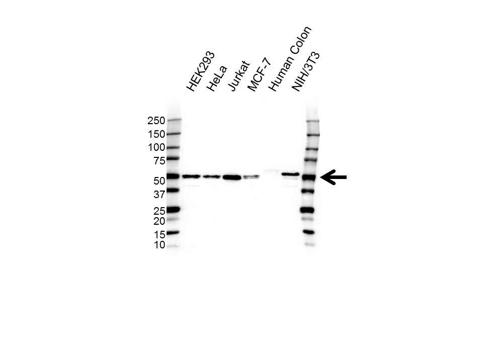 EIF3F Antibody (PrecisionAb<sup>TM</sup> Antibody) gallery image 1