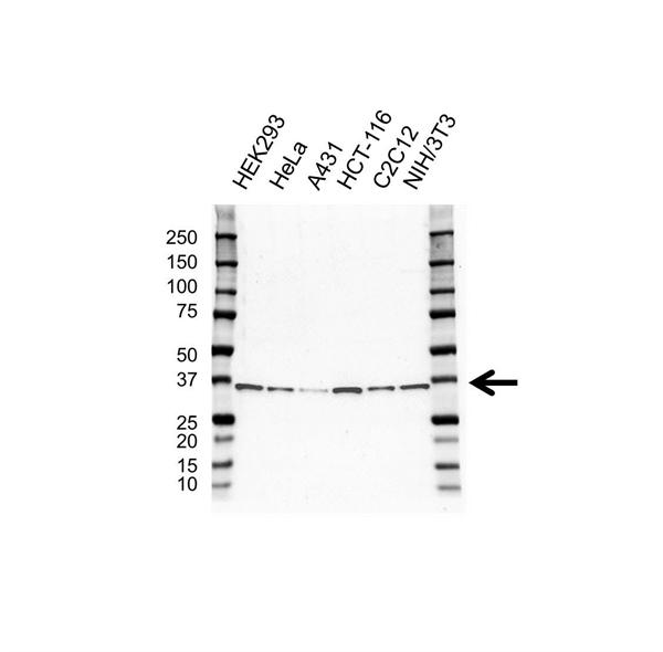 ELAVL1 Antibody (PrecisionAb<sup>TM</sup> Antibody) gallery image 1