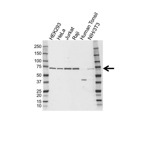 ELF1 Antibody (PrecisionAb<sup>TM</sup> Antibody) gallery image 1