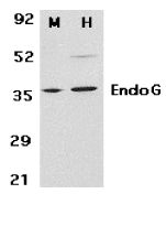 Endonuclease G Antibody gallery image 2